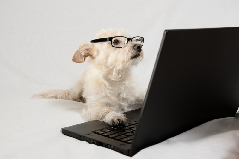 Terrier wearing glasses and working at laptop