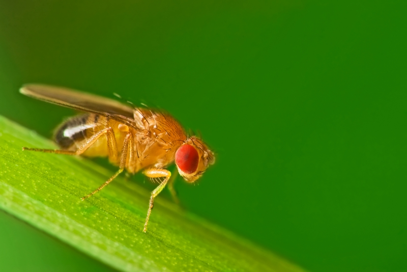 Fruit fly on blade of grass