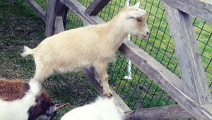playful sheep and goats at Wellesley