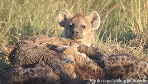 Spotted Hyenas, the subject of Ford Foundation Fellow Connie Roja '14's research