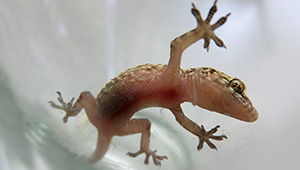 One of the Mediterranean geckos that resides in Wellesley's Greenhouses
