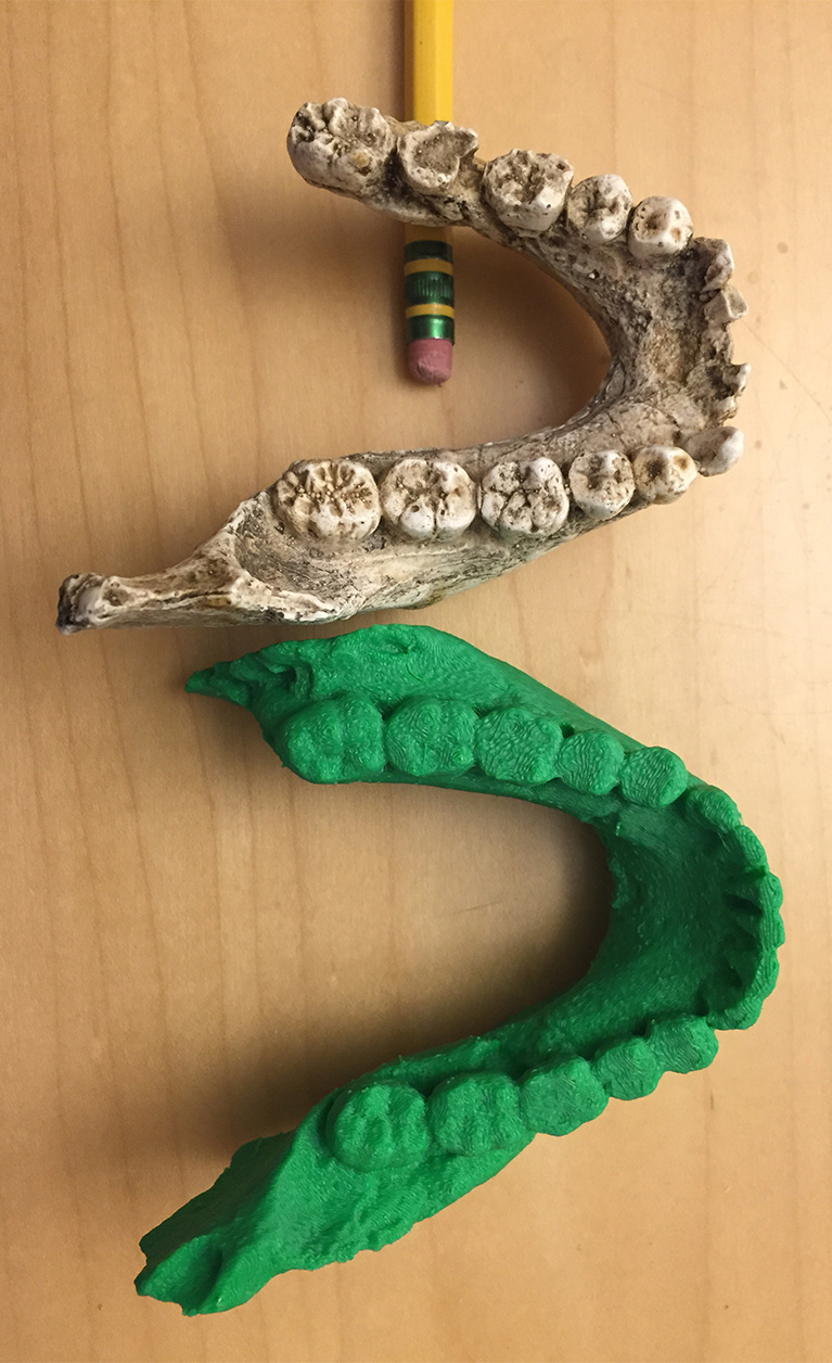 A 3D printout of a Homo naledi fossil sits next to a cast of a Homo habilis jaw.