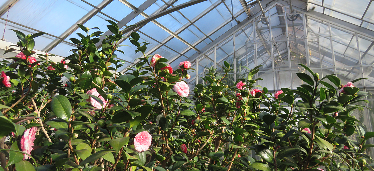A photo of the pink and white blossoms of the Durant Camellia, the only surviving plant donated by College founder Henry Durant.