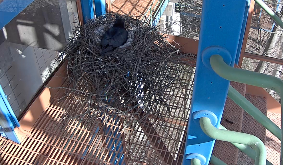 Screen capture of nesting Raven, March 30, Wellesley College Ravencam