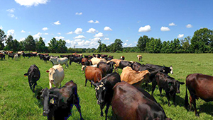 Kent Farms cattle