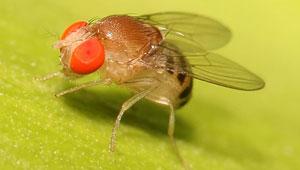 fruitfly closeup photo from wikipedia