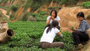 Wang with two women in field during tea harvest