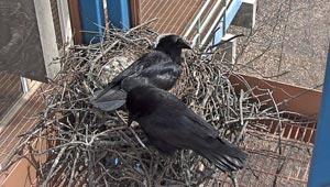 screenshot of ravens on the nest