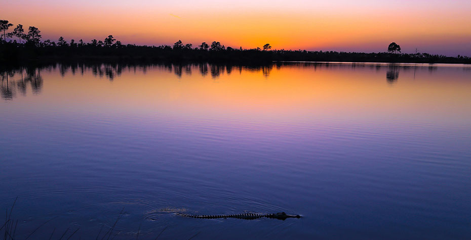 sunset over everglades glassy water with aligator in foreground