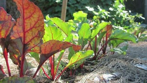 sunlight shining on leaves of growing chard