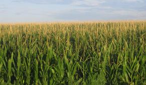 cornfield under blue sky