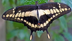 giant swallowtail photo by Bob Wilson