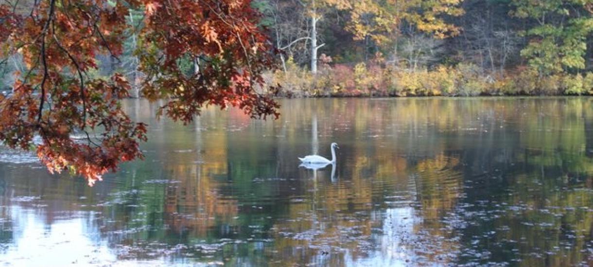 photo of swan in Lake Waban at Wellesley College taken by Andrea Verdelli