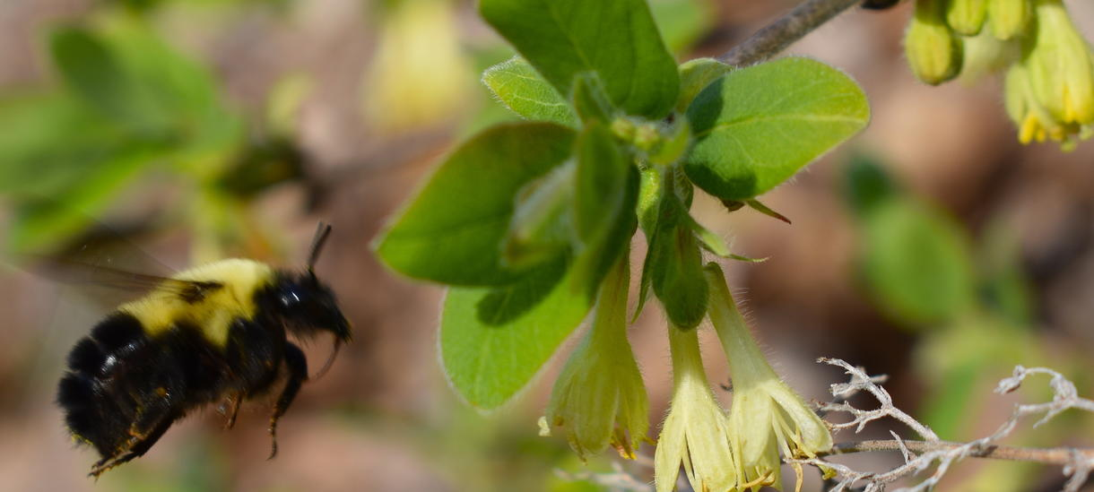 [bumblebee flying to honeyberry flower]