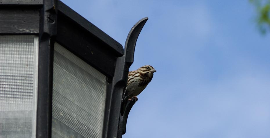 sparrow perched on a wellesley lamp