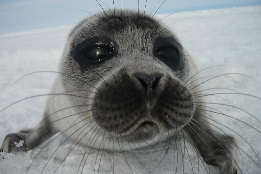 Image of a Nerpa seal from Lake Baikal