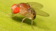 fruitfly closeup photo from wikipedia