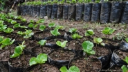 coffee seedlings growing in containers