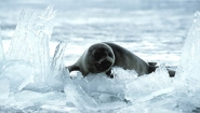seal pup relaxing on ice floe