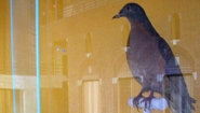 reflection of science center interior on display case showing passenger pigeon