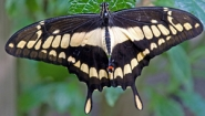 giant swallowtail photo by Bob Wilson