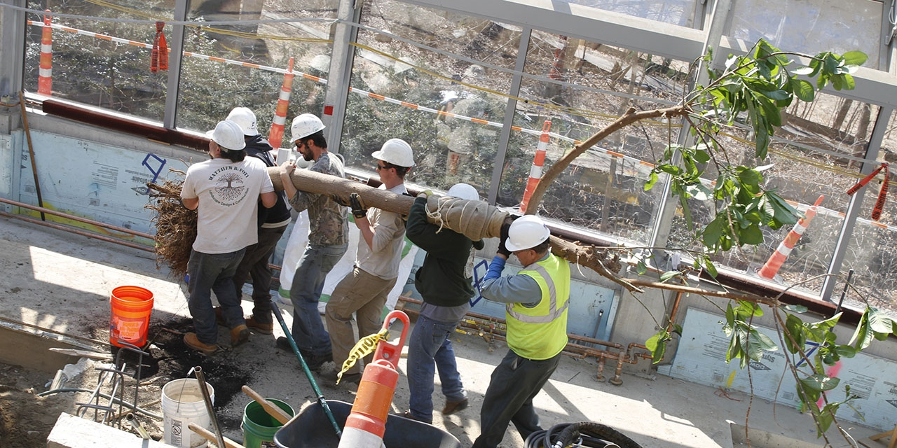 A group of construction workers move a tree into its new home in global flora.