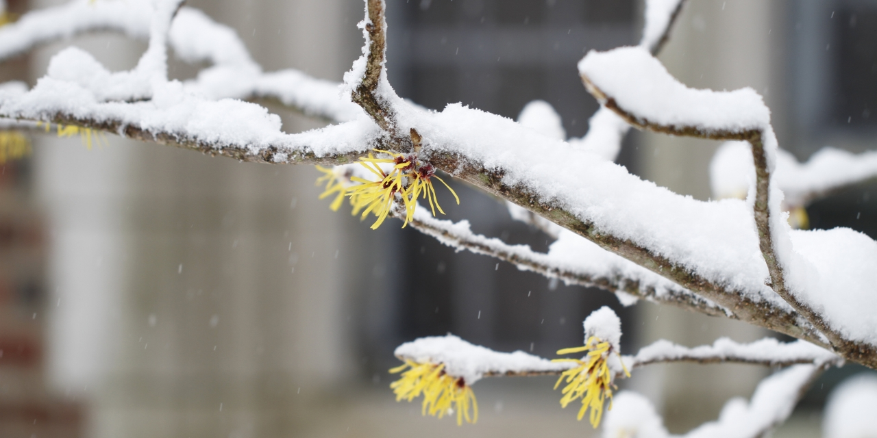A branch of witch hazel covered in snow.