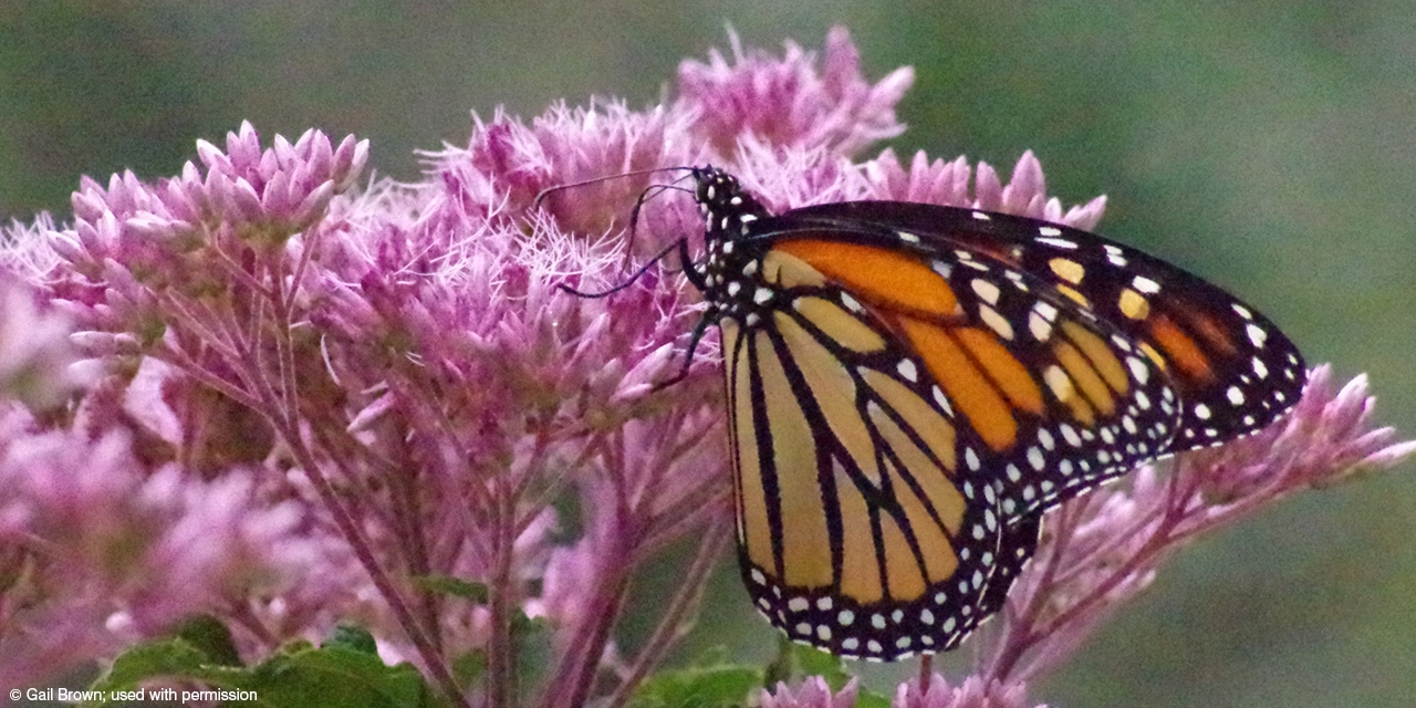 A monarch butterfly finds sustenance in campus flowers.