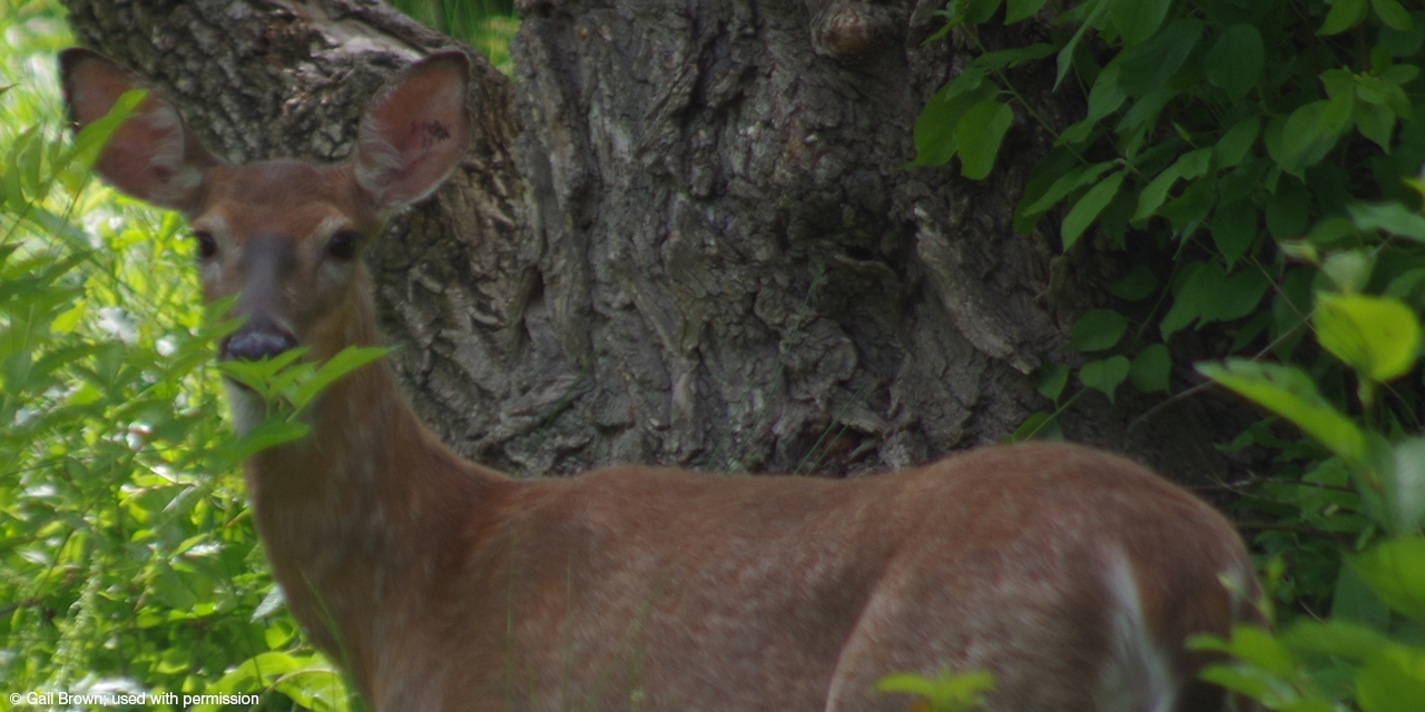 A doe peers through the leaves.