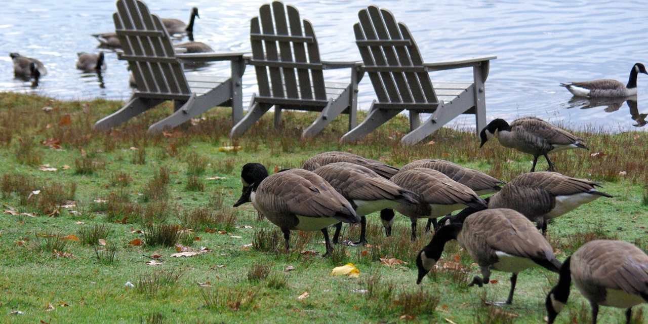 Geese gather along the shore of Lake Waban.
