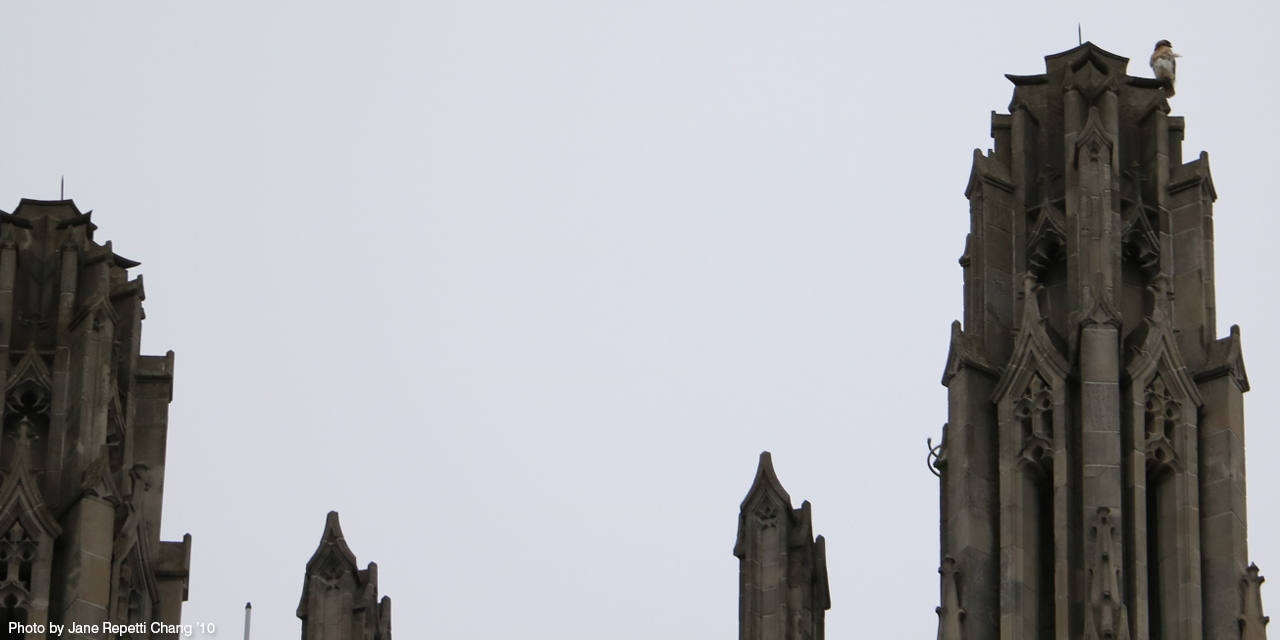 A hawk gets a bird's-eye view from the top of Galen Stone Tower.