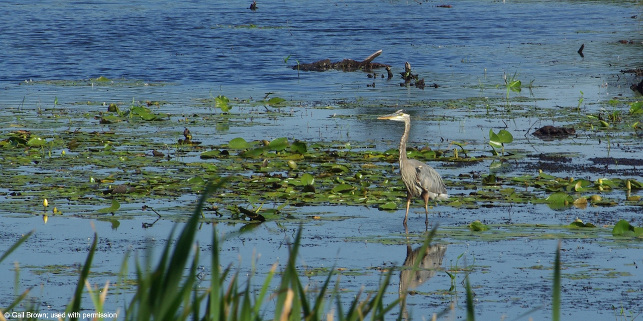 A great blue heron wades among the lily pads.