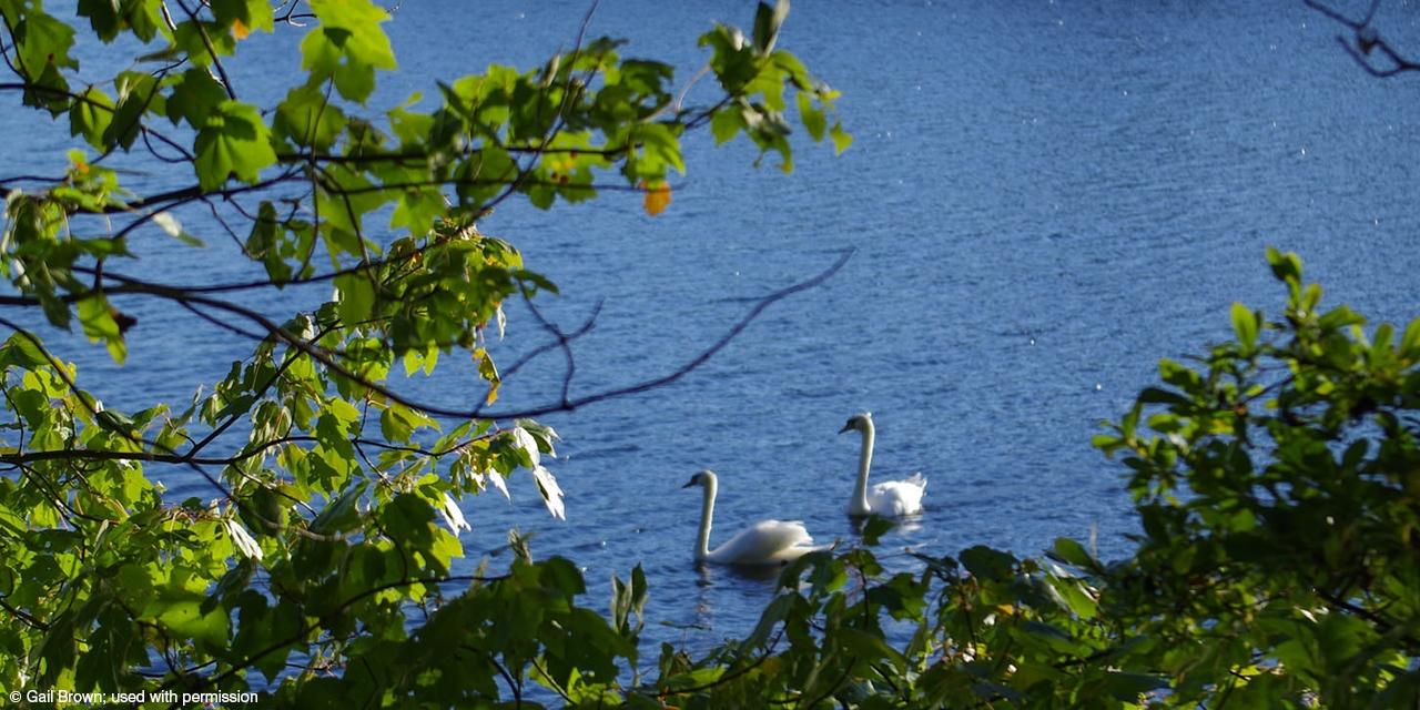 Swans enjoy an afternoon swim in Lake Waban.