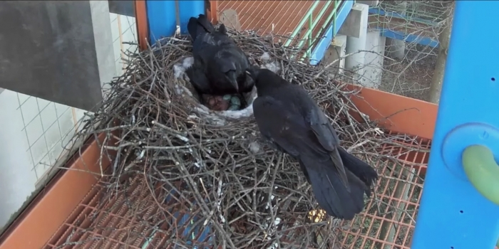 Raven Henry's Death Draws Attention to Bird Behaviors and Safety