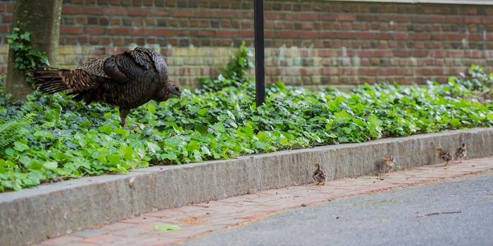 turkey and her chicks