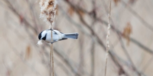 A chickadee in a tree on campus