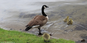 A mother goose leads her goslings into Lake Waban