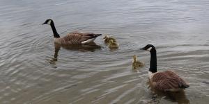 Geese and Goslings on Lake Waban