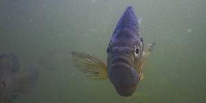 A bluegill sunfish