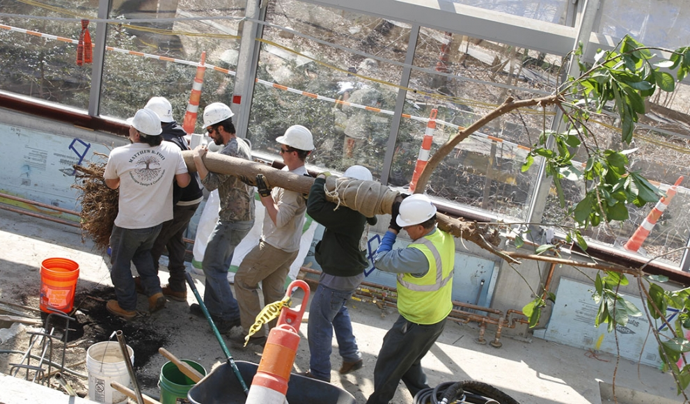 A group of construction workers carry a large tree.