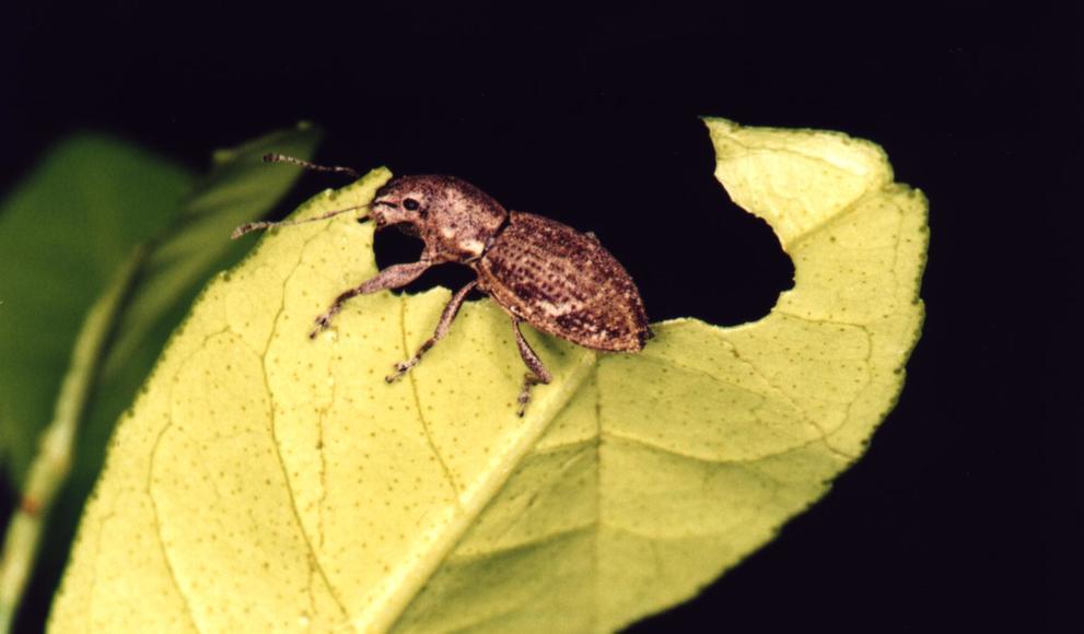 A Naupactus cervinus weevil is seen eating a leaf.