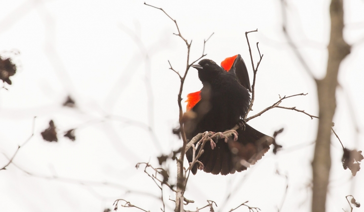 A male red-winged black bird displays its wings to establish territory.