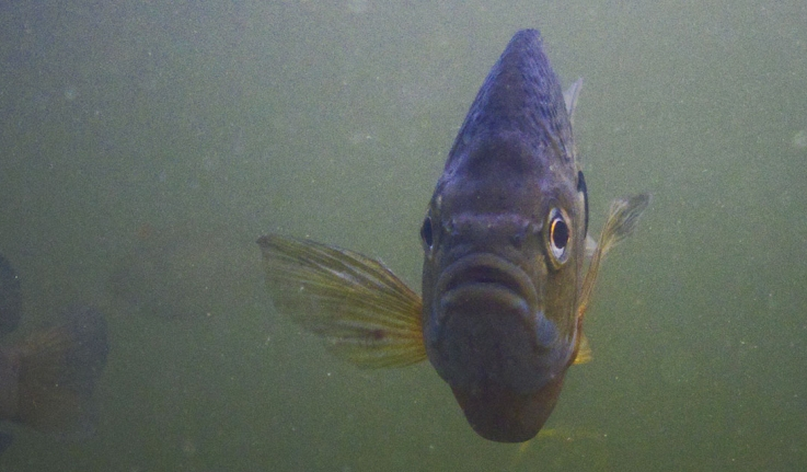 A bluegill sunfish