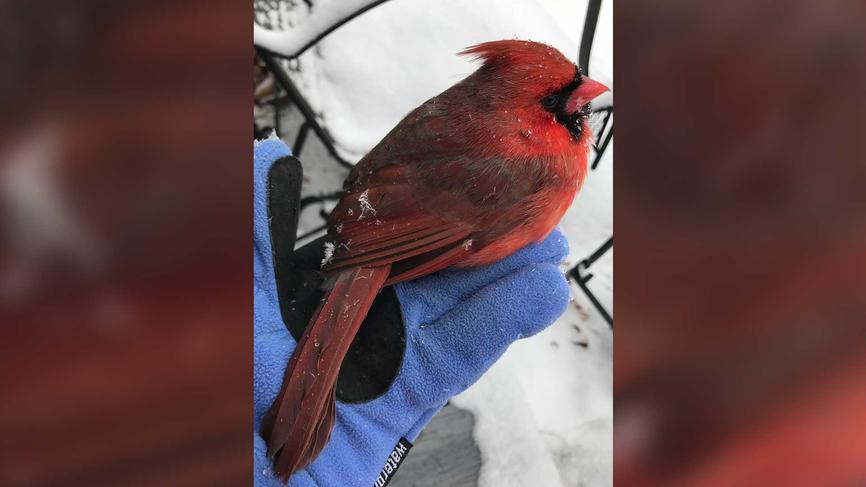 Northern cardinal perched on a person's gloved hand