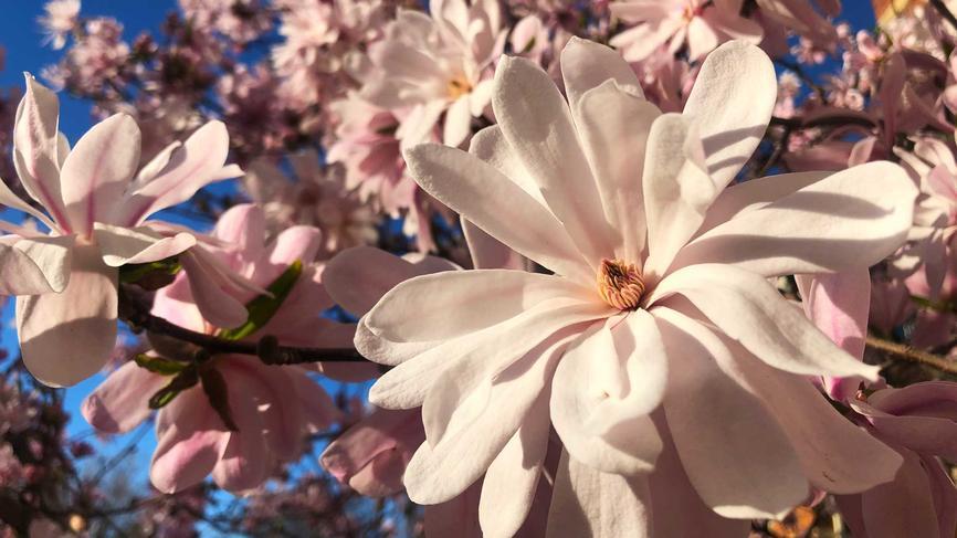 flowering tree against a blue sky