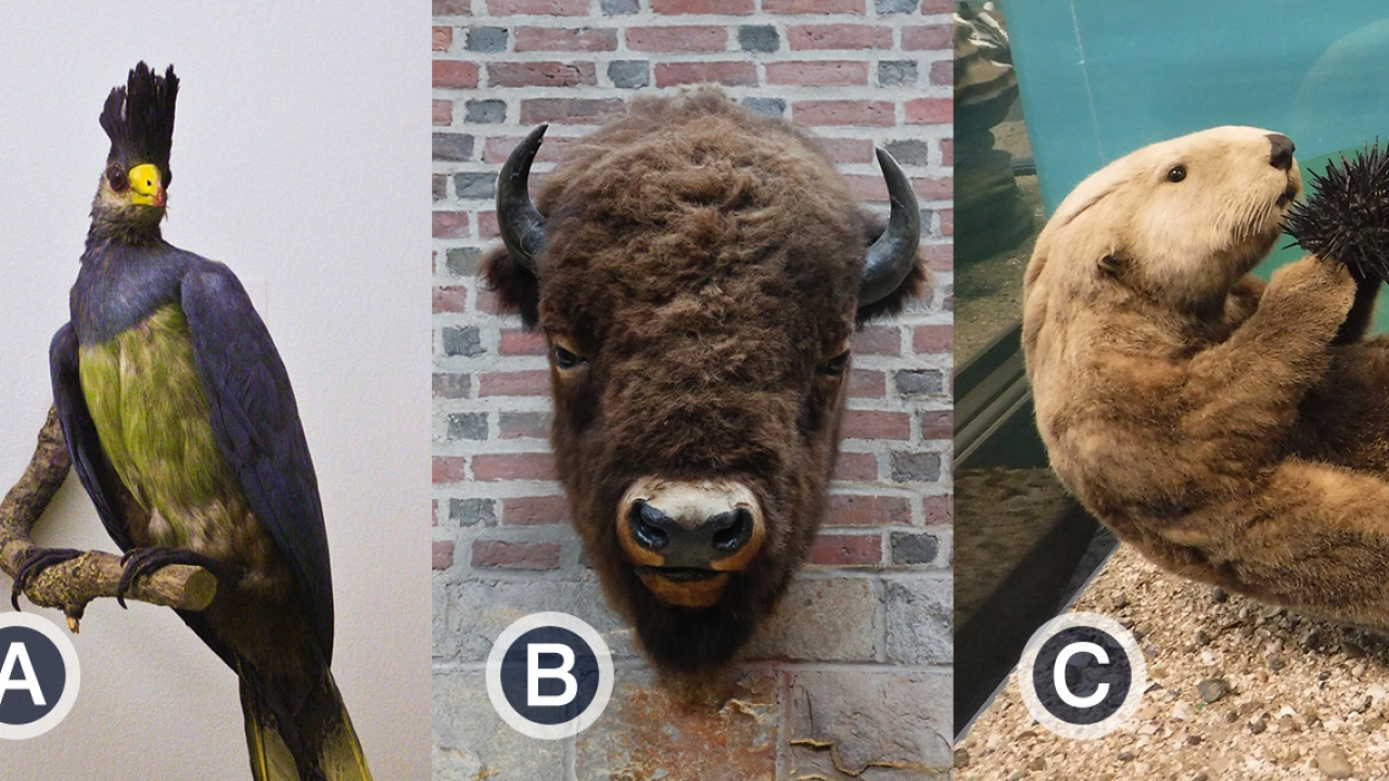 Tight shots of a bird, bison and otter with the letters A, B and C, respectively.