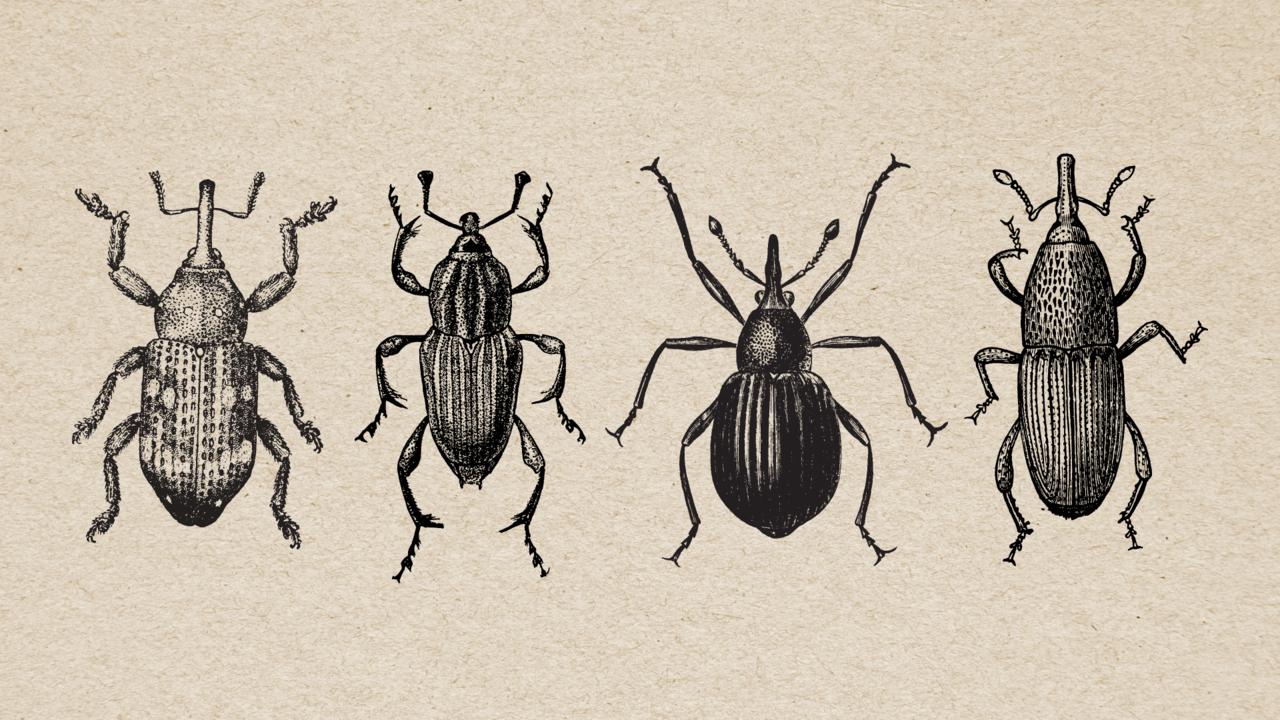 scientific illustration of weevil beetles