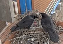 Recording and live streaming of ravens nesting on the Wellesley College campus