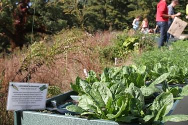 spinach plant in raised garden bed