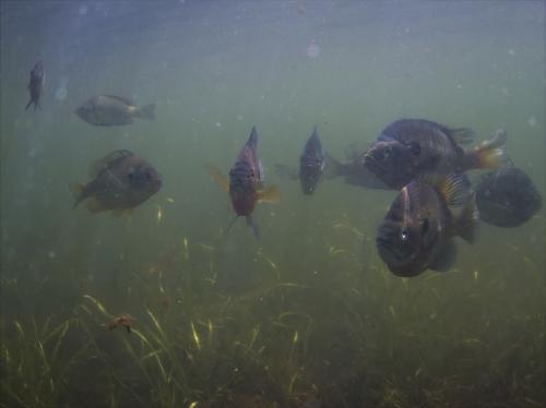 Bluegill sunfish in Lake Waban